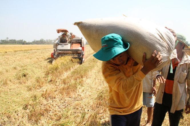 Không bán được lúa, nông dân chất lúa đầy trên bờ kênh suốt nhiều ngày liền chờ thương lái đến mua - Ảnh: Vân Trường